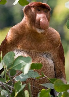 Proboscis-Monkey_General-view_5196